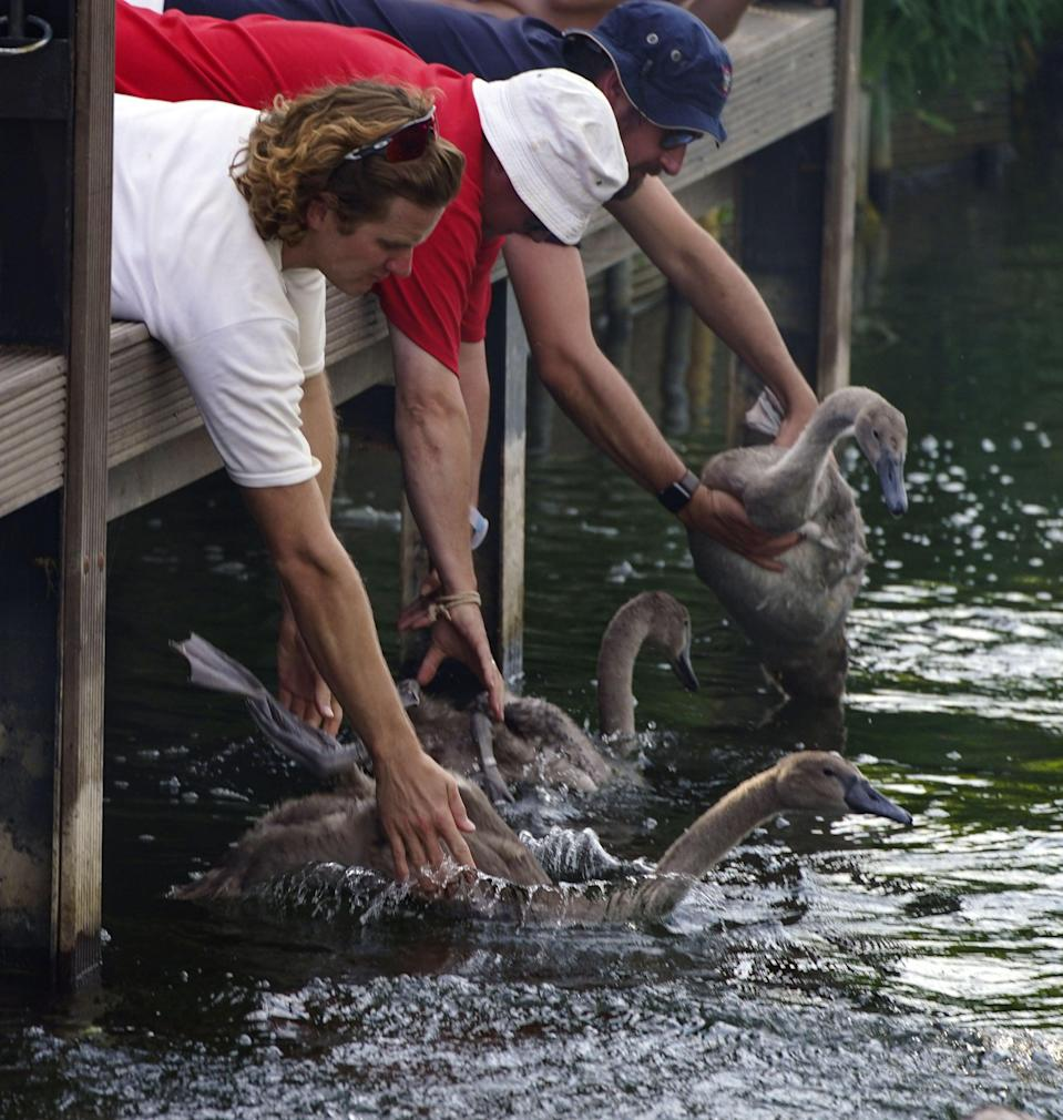 Swan Uppers release a swan and its cygnets (Steve Parsons/PA) (PA Wire)