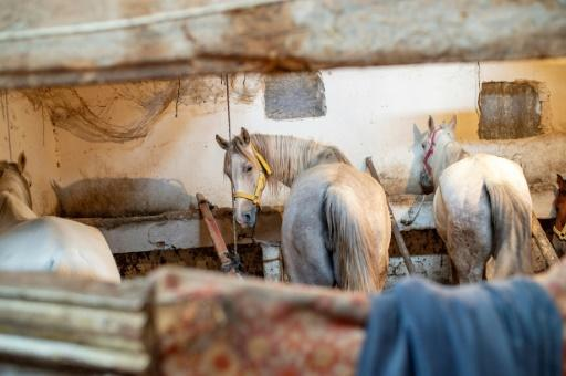 There has been mounting alarm over the welfare of the horses, with a parliament committee reporting that up to 400 were dying on the islands a year