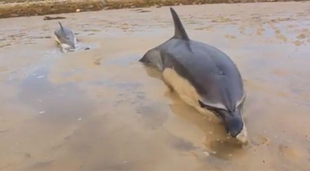 A family of dolphins became beached when they swam too close to shore at low tide. Source: Fergus Sweeney