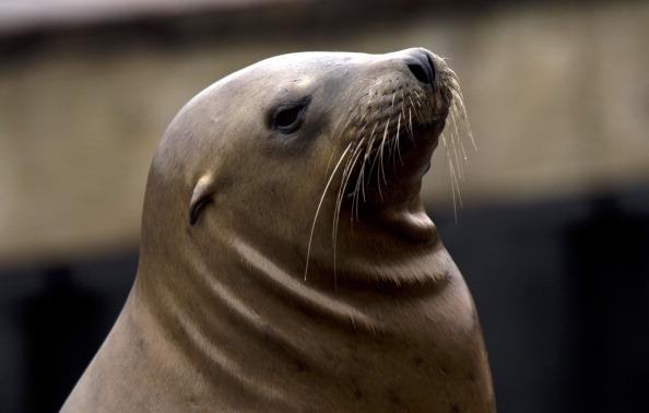 A Sea lion rests on Pier 39 at Fisherman's Wharf on September 11, 2013  in San Francisco. The Sea lions have become a favorite attraction for tourists who visit the area.   AFP PHOTO/Don Emmert        (Photo credit should read DON EMMERT/AFP/Getty Images)