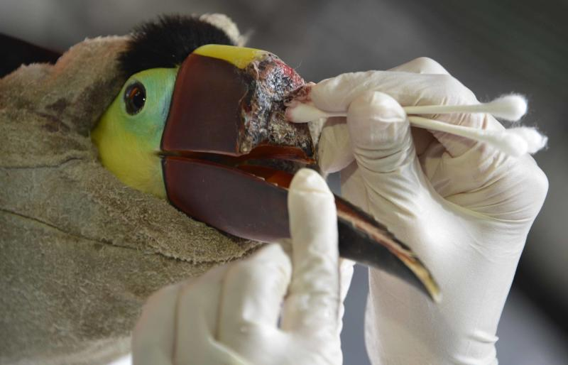 Veterinarian Carmen Soto treats a toucan that lost the upper half of his beak after being attacked by youths, on February 4, 2015 (AFP Photo/Ezequiel Becerra)