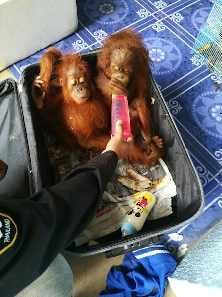The seized animals, including orangutans, were packed into suitcases and plastic boxes (AFP Photo/Handout)