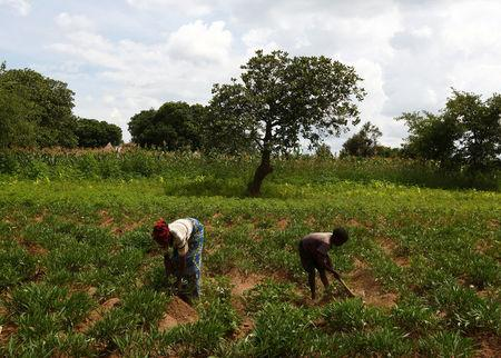 FILE PHOTO: Justina Kabuli and her 12-year-old son Andrew, both HIV-positive, remove weeds from their field of sweet potato crops during a visit by a home-based care team to their home in Chiyobola village, close to the town of Chikuni in the south of Zambia February 21, 2015.    REUTERS/Darrin Zammit Lupi/File Photo