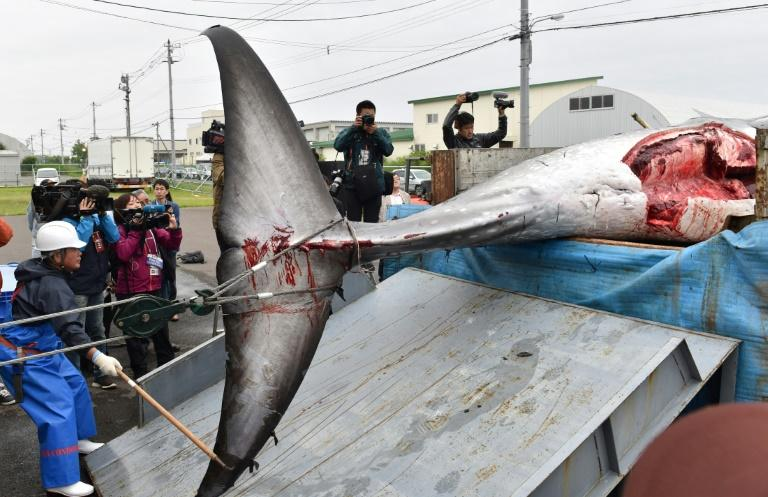 Japan plans to catch 227 whales through the commercial hunting season until December