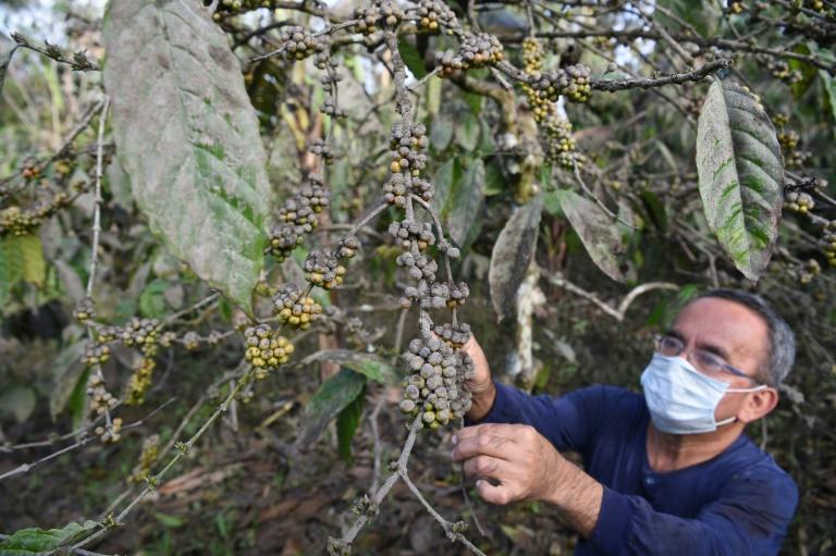 There are already signs coffee plants have been heavily damaged (AFP Photo/Ted ALJIBE)