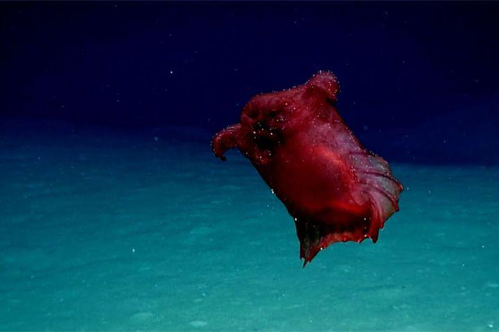 """<img alt=""""""""/><p>In the deep, dark Southern Ocean encircling Antarctica lies a creature so bewildering and elusive, it hasn't been filmed for a year.</p> <p>Behold, the 'headless chicken monster,' which has been filmed casually swimming near East Antarctica, the first time it's been filmed in the region.</p> <p>Except that it's not headless, a chicken, or a monster. It's a sea cucumber.</p> <div><p>SEE ALSO: <a rel=""""nofollow"""" href=""""http://mashable.com/article/snakes-hitchhiking-on-a-plane?utm_campaign&utm_cid=a-seealso&utm_context=textlink&utm_medium=rss&utm_source"""">So, turns out snakes have been hitchhiking on planes. Have a nice flight.</a></p></div> <p>Deep-sea resident <em>Enypniastes eximia,</em> also known as the 'headless chicken monster' to undeniably hilarious scientists, has been filmed in the Southern Ocean.</p> <p>Researchers caught the unusual species of swimming sea cucumber with a new underwater camera system, which has been <a rel=""""nofollow"""" href=""""http://www.antarctica.gov.au/news/2018/underwater-cameras-light-the-way-for-southern-ocean-conservation"""">developed by the Australian Antarctic Division</a>, part of Australia's Department of the Environment and Energy, for monitoring commercial long-line fishing.</p> <p>It's the first time the bright pink creature has been filmed in the Southern Ocean, as it has only ever been caught on camera around the Gulf of Mexico, according to the AAD.</p> <div><p></p></div>  <p>According to a <a rel=""""nofollow"""" href=""""https://repository.si.edu/handle/10088/1130""""> 1990 study</a> published in <em>Smithsonian Contributions to the Marine Sciences</em>, the sea cucumber ranges from 6 to 25 cm (2.3 to 9.8 inches) in length and """"swims almost continuously, briefly settling to the seafloor to ingest surface sediments.""""</p> <p>It uses tiny little tentacles to rapidly grasp this sediment from the seafloor to eat, and propels its bulbous, translucent body forward using a webbed veil.</p> <p>If you're truly perplexed, here's another"""