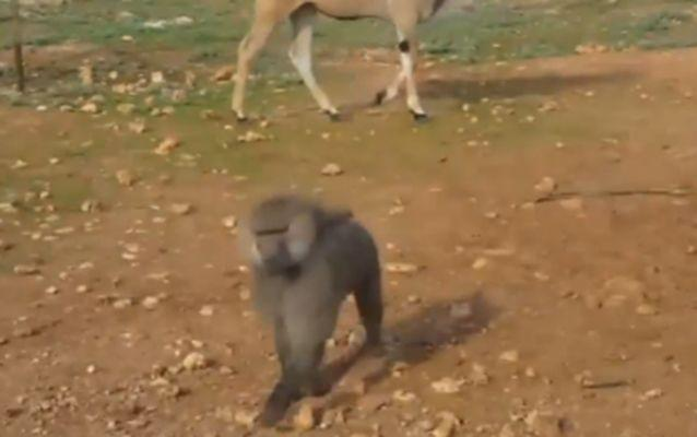 The baboon made a beeline for the vehicle which was travelling through the Safari Zoo in Mallorca. Source: Live Leak.