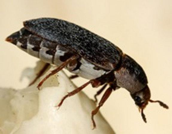 Scent of Sex and Death Attracts Young Female Beetles