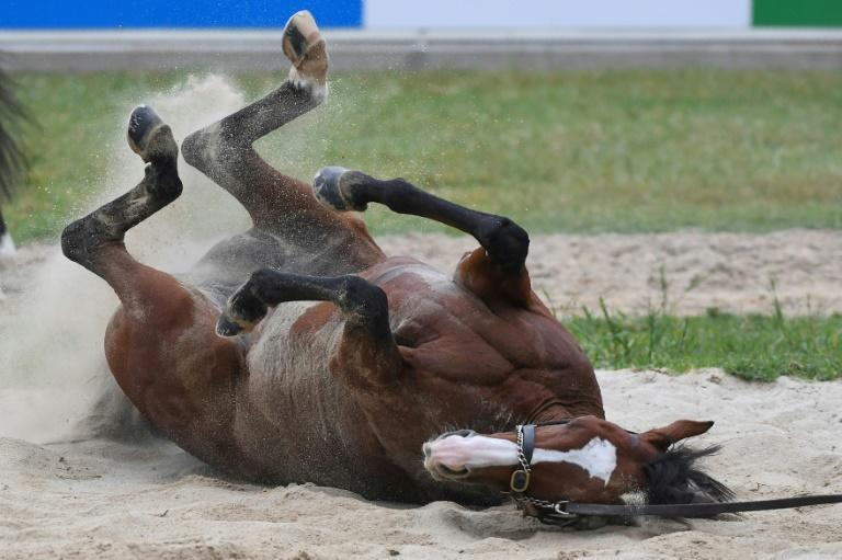 Anthony Van Dyck, seen enjoying a sand roll after a gallop on Monday