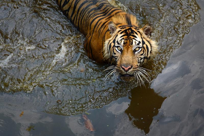Indonesia's anti-drugs czar wants tigers and piranhas as prison guards (AFP Photo/Romeo Gacad)