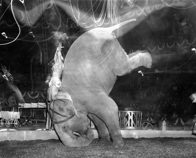 """<p>""""Skee Otaris' hands are over her head as her pachyderm does a headstand during performance of Ringling Brothers and Barnum and Bailey Circus in Madison Square Garden in New York on April 9, 1949. (AP Photo/Matty Zimmerman) </p>"""