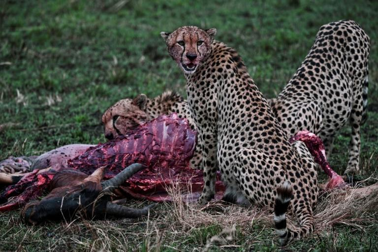 Industrial-scale bush-meat poaching has emptied parts of the African savannah of big cats and their prey (AFP/TONY KARUMBA)