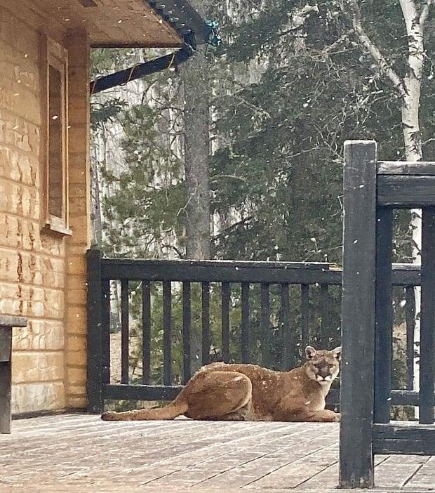 The cougar that hung out on Teri Fullerton's patio ran off after her husband's car drove into the driveway, she says.