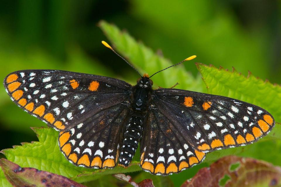 <p><strong>Baltimore Checkerspot Butterfly<br><br></strong>Points to Maryland for sticking with a color scheme and branding it with the name of their largest city. Their state bird is the black and orange Baltimore Oriole, and the state insect is this unusual Baltimore Checkerspot Butterfly. </p>