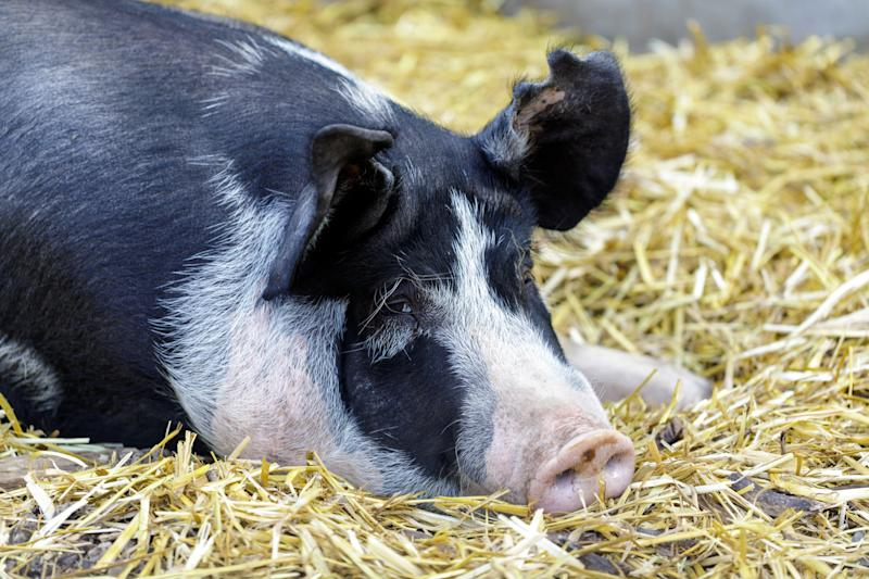 A pig who resembles Princess. (Photo: yhelfman via Getty Images)