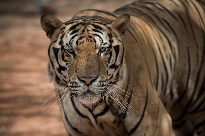 The world is embarking on its sixth mass extinction, according to a Standford University study of tigers and other threatened species (AFP Photo/Nicolas Asfouri)