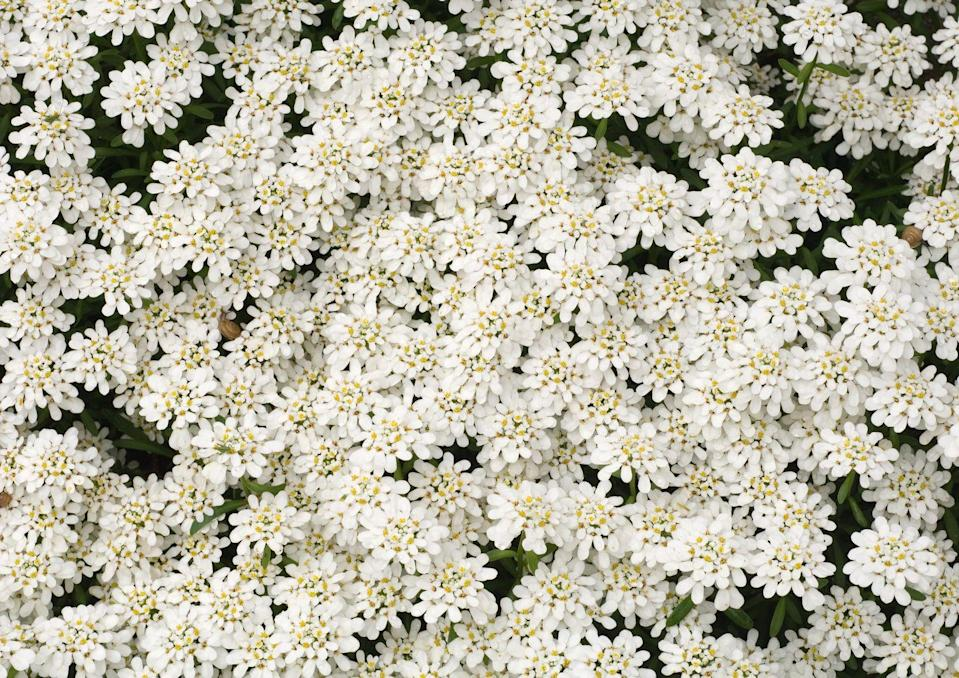 """<p>The blinding white blooms earned the name <a href=""""https://www.thespruce.com/candytuft-flowers-for-your-garden-2132549"""" rel=""""nofollow noopener"""" target=""""_blank"""" data-ylk=""""slk:&quot;candytuft&quot;"""" class=""""link rapid-noclick-resp"""">""""candytuft""""</a> because their tightly packed buds reminded farmers of pieces of candy. The deer-resistant perennials bloom twice throughout the year, spring and late autumn. </p><p><strong>When it blooms: </strong>Mid-spring and late autumn</p><p><strong>Where to plant:</strong> Full sun</p><p><strong>When to plant: </strong>Spring, after last frost</p><p><strong>USDA Hardiness Zones:</strong> 4 to 8</p>"""