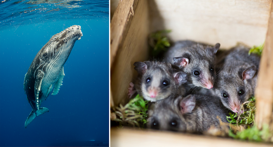 From humpback whales to mountain pygmy possums, animals of all sizes will be affected by climate change. Source: Getty / AAP