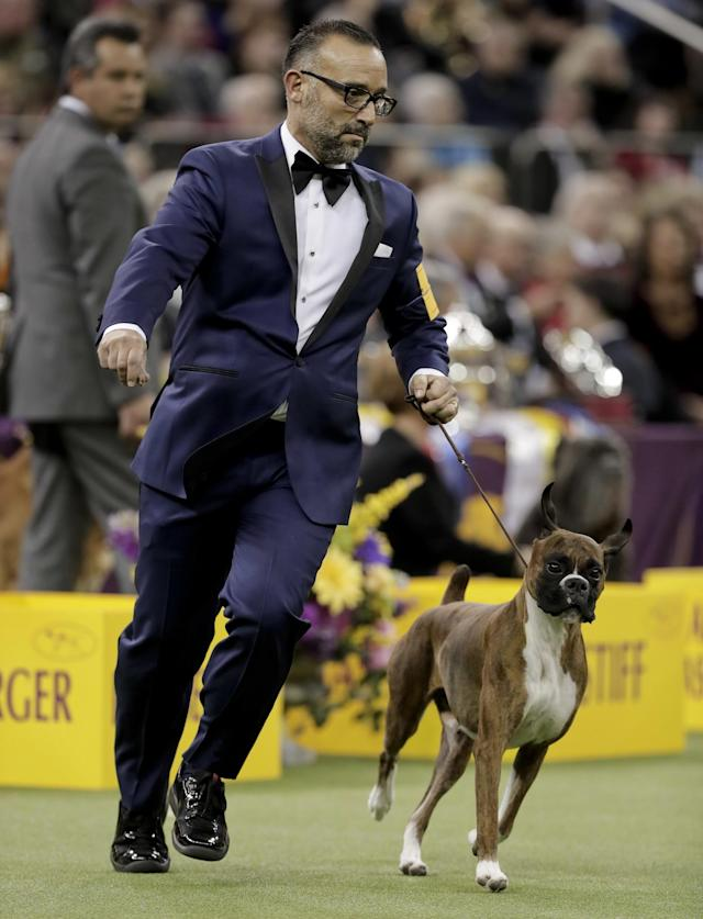 <p>Handler Diego Garcia guides boxer Devlin around the ring during the working group competition at the 141st Westminster Kennel Club Dog Show, Tuesday, Feb. 14, 2017, in New York. (AP Photo/Julie Jacobson) </p>