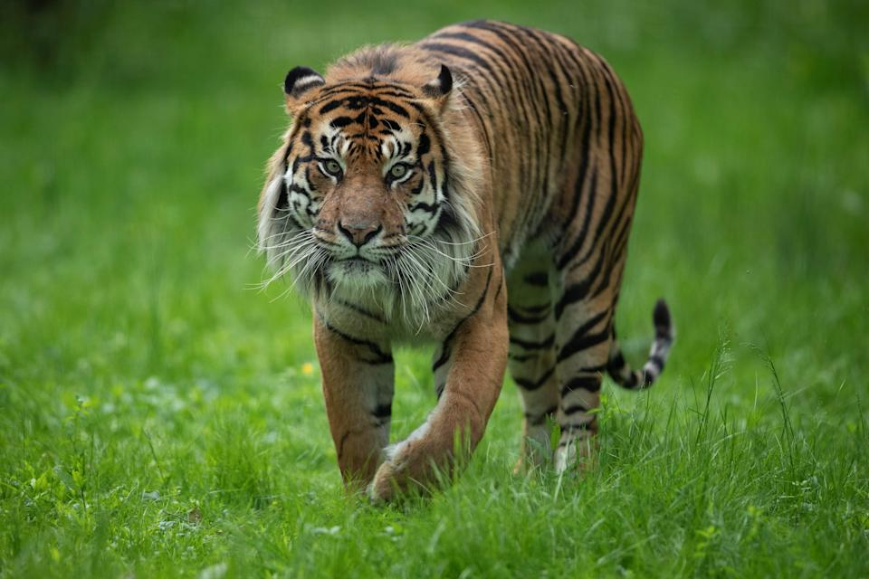 Sumatran tigers are the most critically endangered tiger subspecies [file photo] (AFP/Getty Images)