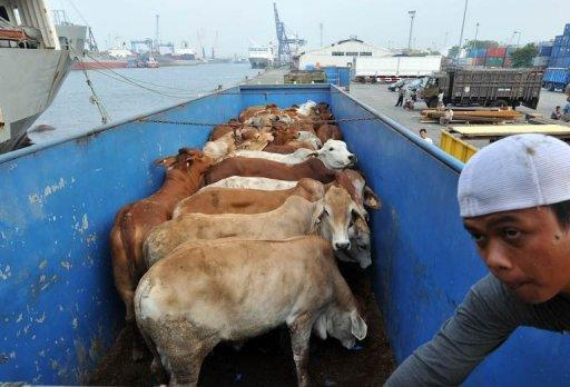 Sixty percent of Australia's lucrative live cattle trade goes to Indonesia, with about 500,000 animals sent each year
