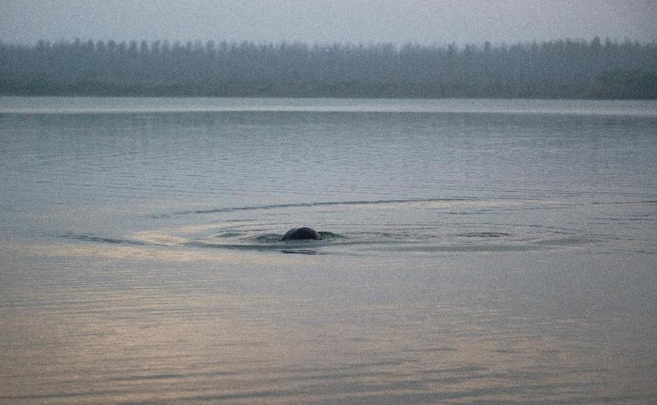 One of the world's few freshwater porpoise subspecies, the Yangtze finless porpoise is considered a natural barometer of the overall health of China's most important river (AFP Photo/Johannes EISELE)