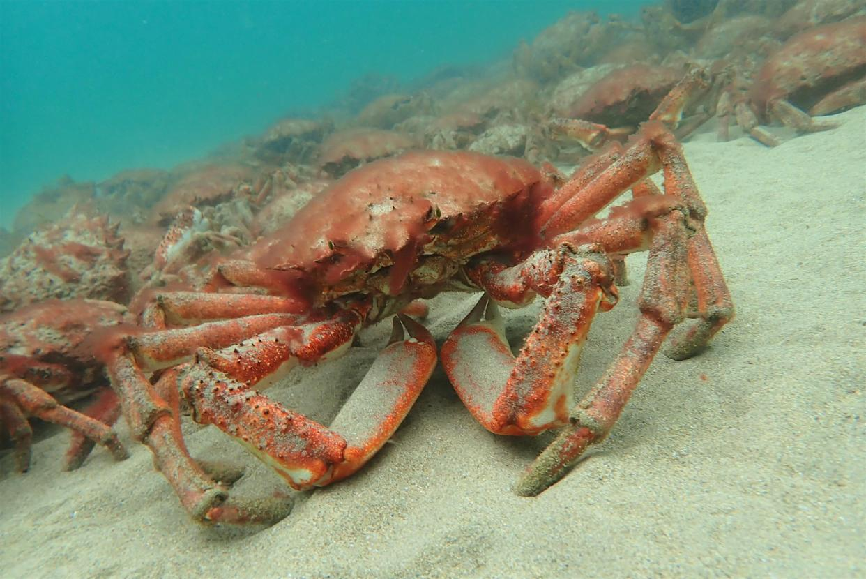 The mass aggregation of spider crabs was filmed on a beach in Falmouth, Cornwall (Matt Slater/Cornwall Wildlife Trust/PA).