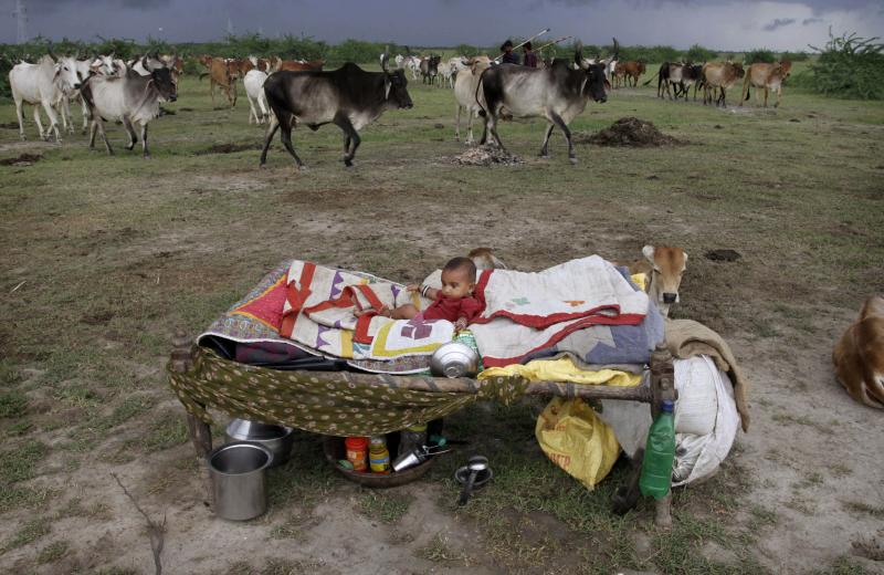 In this Thursday, Aug. 23, 2012 photo, an young Indian child rests near a herd of cattle in Bagodara, about 75 kilometers (47 miles) west of Ahmedabad, India. The showers, which normally run from June to September in large areas of what is now a drought affected Gujarat, are crucial in a country where 60 percent of the population works in agriculture and less than half the farmland is irrigated. India's Meteorological Department has said it expects the country to get at least 10 percent less rain this year than during a normal monsoon, but large parts of the country have been hit much harder. (AP Photo/Ajit Solanki)