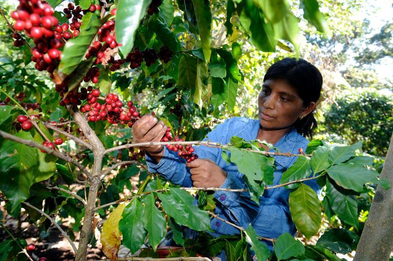 A woman collects coffee beans at San victor farm in Los Verdes village, Fraijanes municipality, near Guatemala City on January 17, 2013