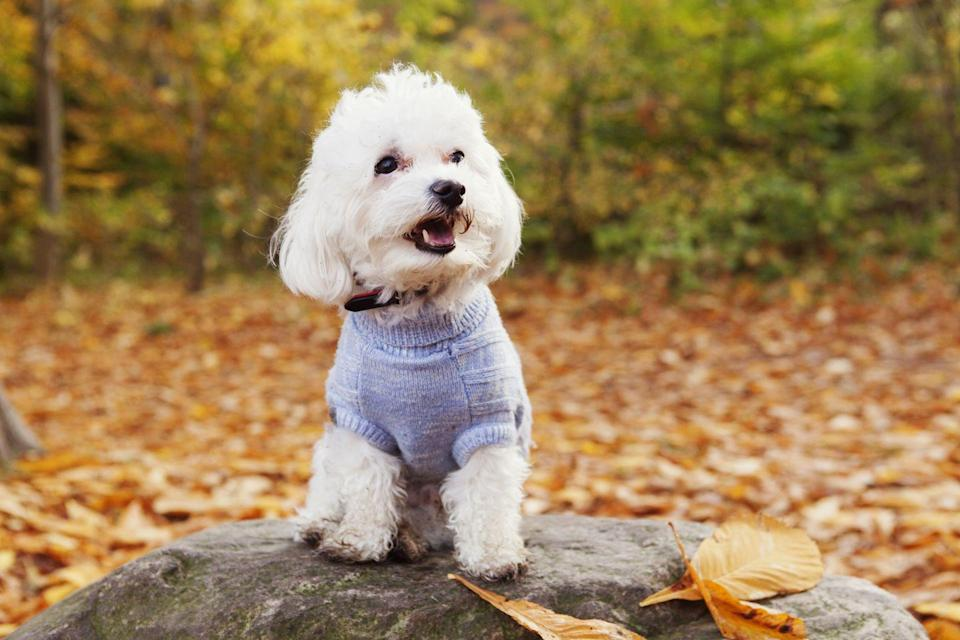 """<p>In the market for a dog-slash-teddy bear? These toy-like creatures are always white in color and have big, beautiful black eyes and noses. Because they're a double-coated breed, Bichon Frise's don't shed, and Dog Time highly <a href=""""https://dogtime.com/dog-breeds/bichon-frise#/slide/1"""" rel=""""nofollow noopener"""" target=""""_blank"""" data-ylk=""""slk:recommends them for people with allergies"""" class=""""link rapid-noclick-resp"""">recommends them for people with allergies</a>. They do suffer from separation anxiety though, so if you're not home a lot this breed may not be the right pet for you.</p>"""