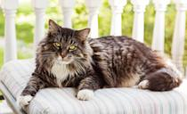 """<p>If you're looking for a true companion, then you'll find one in the <a href=""""https://cfa.org/maine-coon-cat/"""" rel=""""nofollow noopener"""" target=""""_blank"""" data-ylk=""""slk:Maine Coon"""" class=""""link rapid-noclick-resp"""">Maine Coon</a> breed. Historically, they've been held in high regard by the New England locals for their mousing talents aboard fishermen's ships.</p>"""