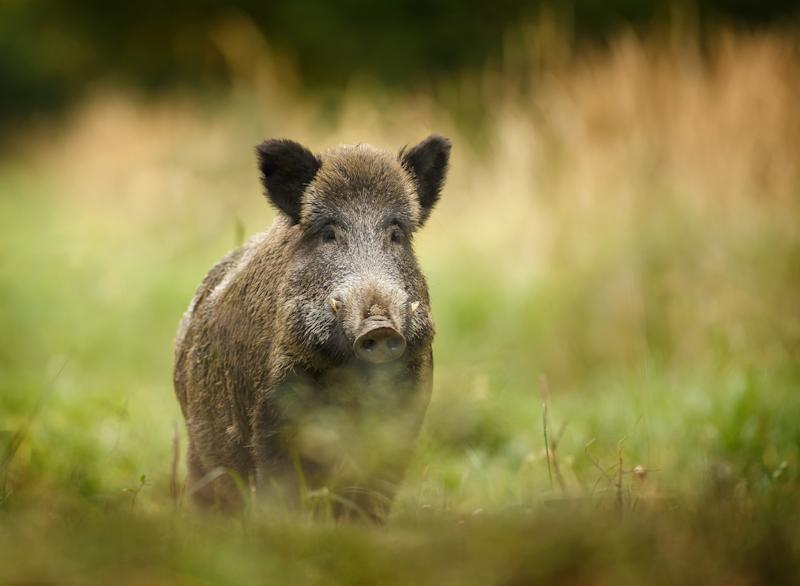 Wild boar walking through dead grass and pine trees