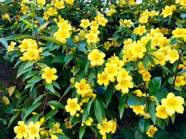 """<p>Beautiful, fragrant bright yellow flowers cover this hardy vine. It blooms in early spring, with some reblooming in fall. It's a fast-grower that works well to cover unsightly views. It needs full sun.</p><p><a class=""""link rapid-noclick-resp"""" href=""""https://gardengoodsdirect.com/products/carolina-jessamine-gelsemium?variant=31324559802410&gclid=CjwKCAjwv_iEBhASEiwARoemvAYeqOHFEaG-7Pk-tc4NqNxSjEXTyLpeWdVHPTTWUELCEb_b_d5kAhoCkYoQAvD_BwE"""" rel=""""nofollow noopener"""" target=""""_blank"""" data-ylk=""""slk:SHOP CAROLINA JESSAMINE"""">SHOP CAROLINA JESSAMINE</a></p>"""