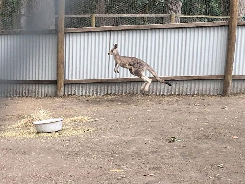 A rescued kangaroo was bouncing around the yard, clearly not injured.
