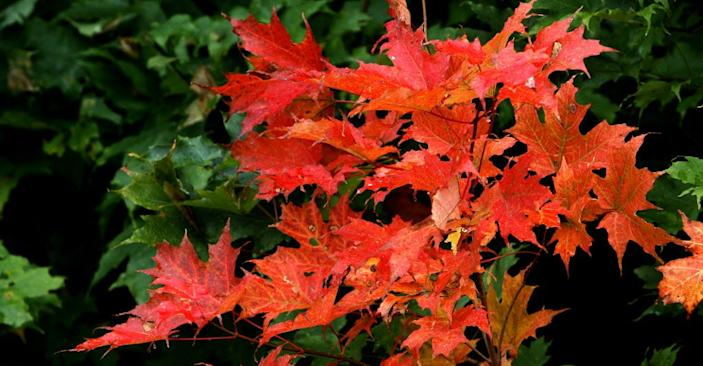 Leaves begin to change colors in Twin Mountain, N.H.
