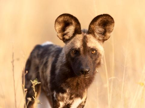 See lions and wild dogs - Credit: GETTY