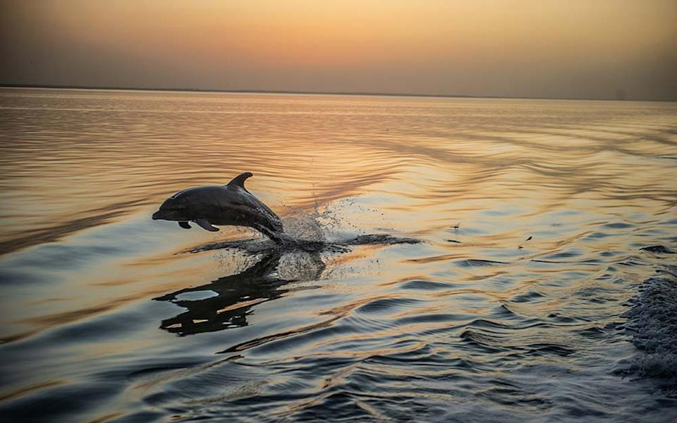 Bottlenose dolphins trail the boat at sunset - MARK STRATTON
