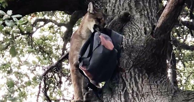 Let's All Be Impressed With the Dad Who Saved His Kid From a Mountain Lion Attack