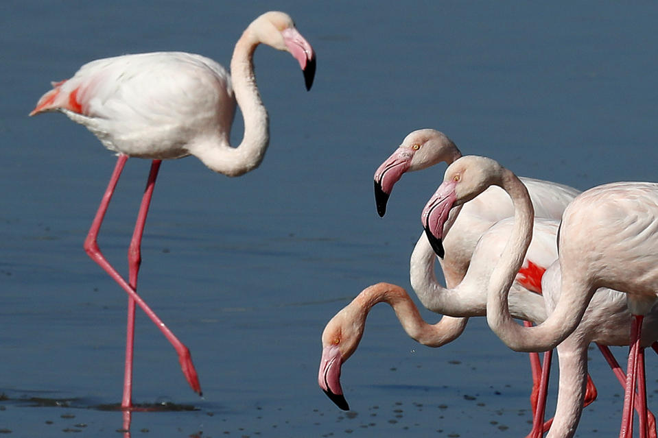 Flamingos at a salt lake in the southern coastal city of Larnaca, in the eastern Mediterranean island of Cyprus, Sunday, Jan. 31, 2021. Conservationists in Cyprus are urging authorities to expand a hunting ban throughout a coastal salt lake network amid concerns that migrating flamingos could potentially swallow lethal quantities of lead shotgun pellets. (AP Photo/Petros Karadjias)