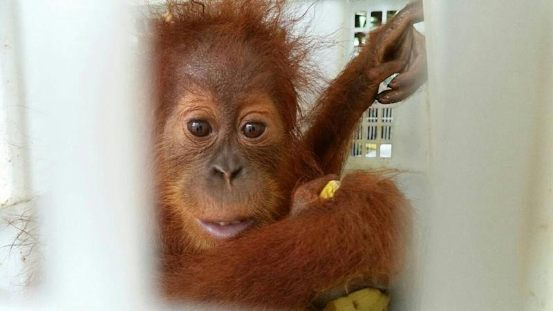 The tiny orangutans rescued at the Thai border were less than six months old (AFP Photo/Handout)