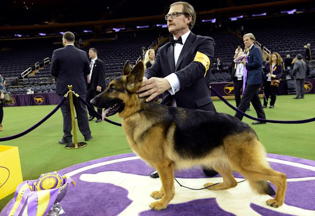 REFILE - CORRECTING HIS HANDLER TO HER HANDLER Rumor, a German shepherd and winner of Best In Show at the 141st Westminster Kennel Club Dog Show, poses for photographers with her handler Kent Boyles at Madison Square Garden in New York City, U.S., February 14, 2017. REUTERS/Stephanie Keith