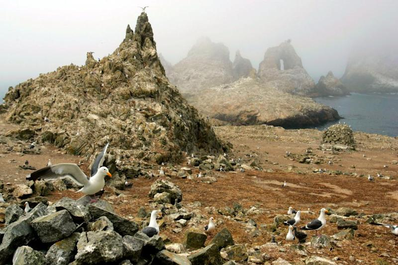 Gulls nest near the North Landing area of the Farallon Islands national refuge.
