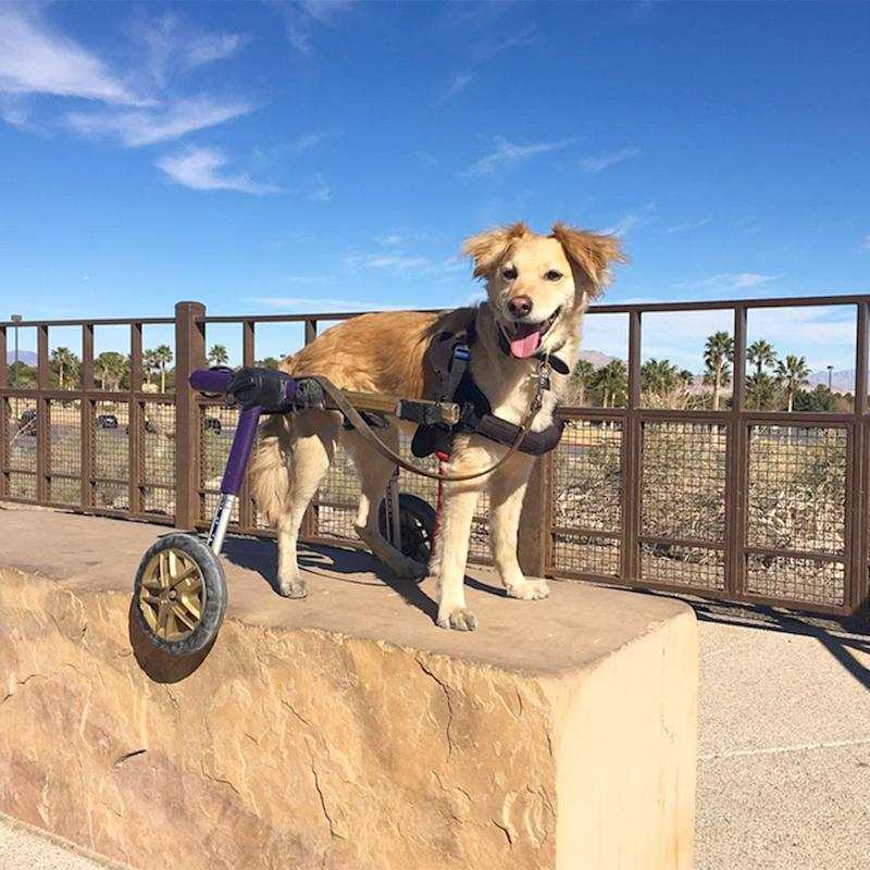 It's Impossible Not to Smile at Super Scooty, a Disabled Dog Whose Pure Joy is Infectious
