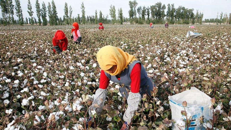 It is alleged that Uyghur people are forced to pick cotton that supplies the global market