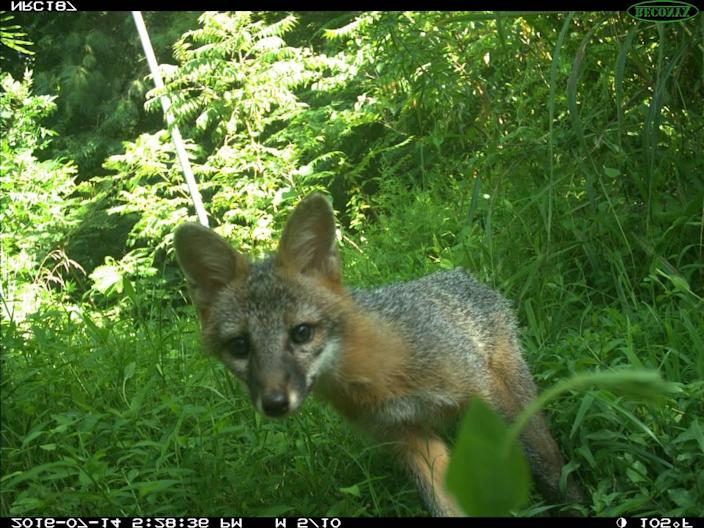 A gray fox photographed with a trap camera in central North Carolina.