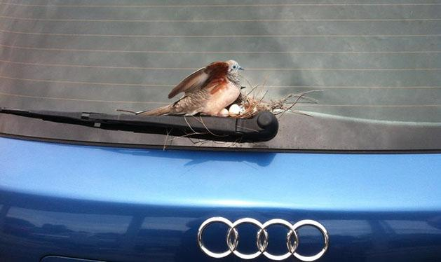 A bird nest on the back of an Audi (Trevor Maltby)
