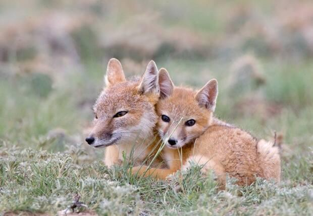 Conservation efforts helped the swift fox population recover, and it can now be found in several areas in Alberta and Saskatchewan.  (Rob Palmer Photog/Shutterstock - image credit)