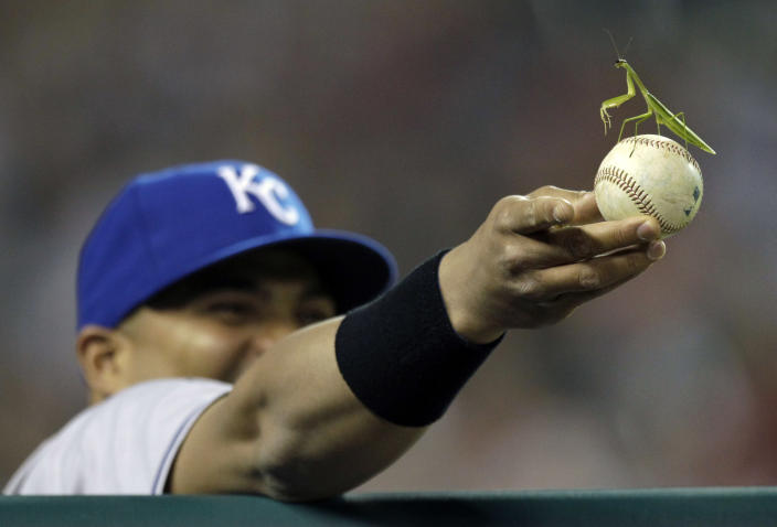 Kansas City Royals' Brayan Pena holds a baseball with a mantodea ,more commonly known as a praying mantises, on it during the eighth inning of a baseball game against the Detroit Tigers in Detroit, Monday, Aug. 29, 2011. (AP Photo/Paul Sancya)
