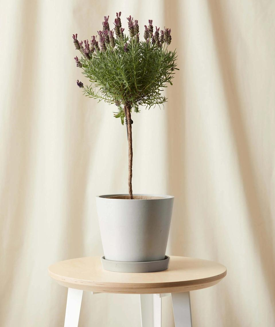 """<h3><h2>Lavender Plant</h2></h3><br><strong>Why She'll Love It</strong><br>Not only will this beauty transport your mom to the south of France — it's also delightful aromatic and will fill her home with a sweet and calming aroma. <br><br><strong>Care</strong><br>You'll want to keep this pretty lady in direct sunlight and away from your furry friends — lavender is great for people, but not so much for pooches. Your lavender plant can enjoy long periods of time outdoors during warmer months.<br><br><em>Shop</em><strong><em> <a href=""""https://bloomscape.com/shop/featured/mothers-day-shop/"""" rel=""""nofollow noopener"""" target=""""_blank"""" data-ylk=""""slk:Bloomscape"""" class=""""link rapid-noclick-resp"""">Bloomscape</a></em></strong><br><br><strong>Bloomscape</strong> Lavender Tree, $, available at <a href=""""https://go.skimresources.com/?id=30283X879131&url=https%3A%2F%2Fbloomscape.com%2Fproduct%2Flavender-tree%2F"""" rel=""""nofollow noopener"""" target=""""_blank"""" data-ylk=""""slk:Bloomscape"""" class=""""link rapid-noclick-resp"""">Bloomscape</a>"""