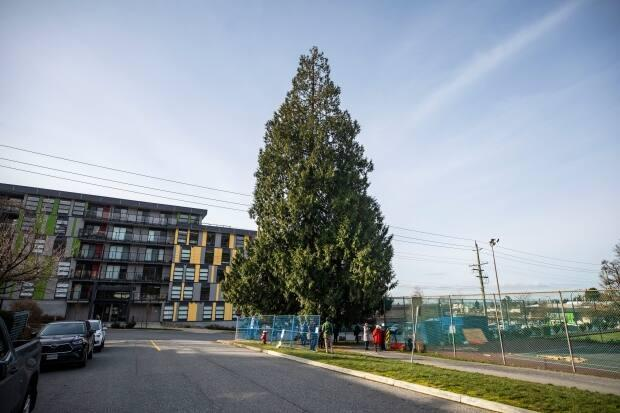 The tree at the corner of 21st Street and Eastern Avenue in Central Lonsdale is estimated to be more than 200 years old.  (Ben Nelms/CBC - image credit)